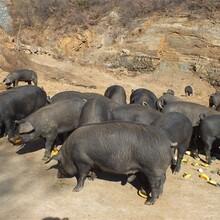北京黑猪养殖图片