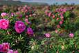 平阴四季玫瑰紫枝玫瑰供应