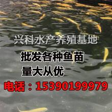 四川虹鳟鱼苗金鳟鱼苗三文鱼苗批发厂家直销图片