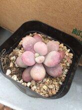 超大叶片尺寸桃美人怎样种植
