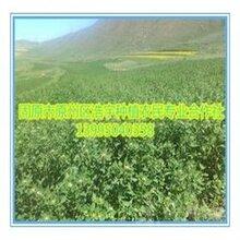 藜麦苗粉批发宁夏有机藜麦苗汁粉藜麦叶粉藜麦嫩芽粉图片