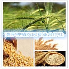 燕麥胚芽粉寧夏廠家富硒燕麥胚芽全粉燕麥速溶粉圖片