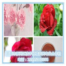 玫瑰花酵素玫瑰花多糖固原浩宇批发价格玫瑰花粉玫瑰花提取物玫瑰花浓缩速溶粉