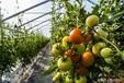 缅甸锦利国际开户番茄是不是西红柿