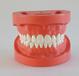 A2標準牙模型