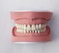 A4標準K牙模型