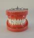 A6標準牙模型