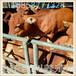 養10頭牛犢一年的利潤是多少能賺多少錢?如何降能低成本?