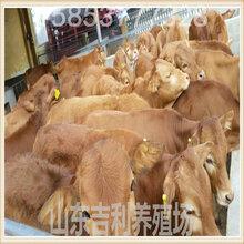 忻州市西门塔尔肉牛场图片