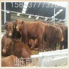 山东省大型专业养牛场养牛图片