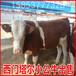 湖南最大肉牛養殖場