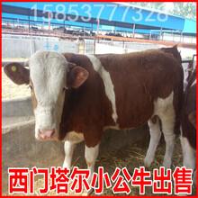 山西利木贊牛養殖場圖片