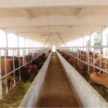 利木赞肉牛价格-农业图片