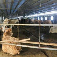 山東肉牛養殖場,西門塔爾牛圖片