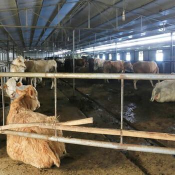 夏洛莱牛价格多少钱