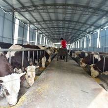 河南肉牛市場價格圖片