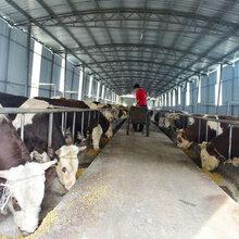 江西九江养牛场