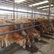 河南肉牛批發價格圖片