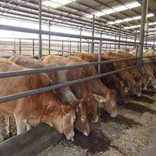 广西来宾市兴宾区养牛场