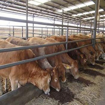 西门塔尔牛饲养成本需要多少怎么计算