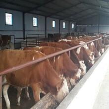 現在黃肉牛價格批發價格圖片