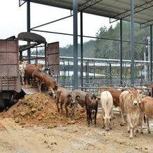 我要养牛肉牛养殖成本