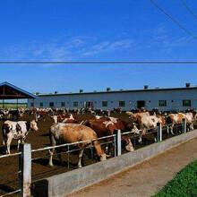 市場肉牛價格行情圖片