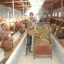 中国昆明正规养牛场批发