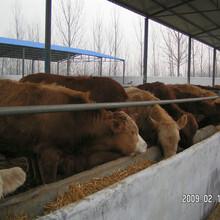 肉牛一天喂多少精料合適圖片