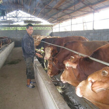 肉牛品種有哪些肉牛品種圖片