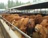 甘肅肉牛養殖基地