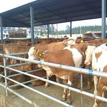 小牛犊多少钱图片