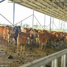 大型牛羊養殖基地圖片