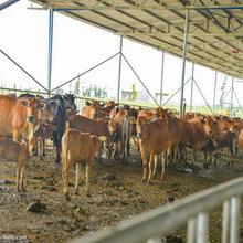 断奶牛犊多少钱一头图片