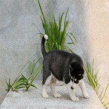烏恰縣蘇聯紅犬多少錢一只圖片