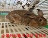 曲靖種兔價格