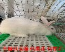 养殖肉兔子技术