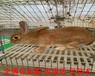 甘孜比利時兔價格