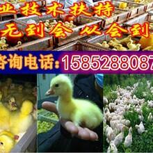 扬州鸿鑫养鹅基地出售1到30日龄狮头鹅苗