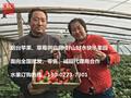 上海水果微商代理合作-上海草莓拿货货源-烟台苹果产地直供图片