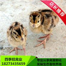 优质野鸡苗批发七彩山鸡苗提供养殖技术厂价直销图片