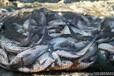 北海查干湖鱼多少钱一斤