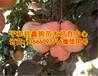 红肉柚子树苗,红肉柚子树苗