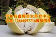 三红柚子树苗,三红柚子树苗经销商