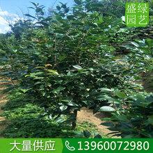 湖北茶花哪里有卖,湖北茶花品质优价格低大批量供应景观造园