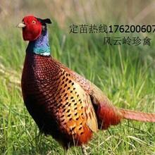 七彩山雞苗多少錢一只_佛山七彩山雞養殖場圖片