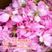 湖北省恩施土家族苗族自治州大馬士革玫瑰鮮花供應