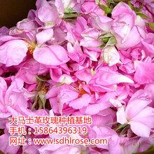 湖北省恩施土家族苗族自治州大马士革玫瑰鲜花供应