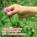 山東省萊蕪市大馬士革玫瑰小苗采購