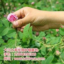 湖北省恩施土家族苗族自治州大马士革玫瑰鲜花厂家